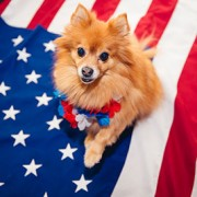 small dog on american flag