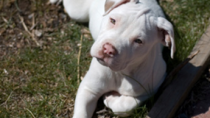 Abandoned and Abused, a Puppy is Saved by a Heroic Pit Bull
