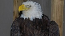 Bald Eagle Rescue Photos