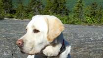 Golden Labrador on a mountain in Maine