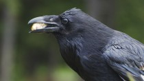 Crafty Crows: How Much Truth Did Aesop Know?