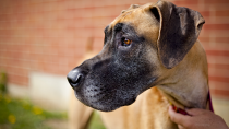 Is a Giant Dog Breed Right for Me?