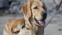 Golden Retriever Saves Man From Seizure