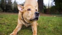 Hero Dog Calls 911 Using Owner's iPhone