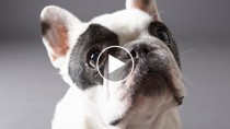 French Bull dog looking up