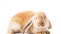 A Pet Rabbit isn't right for everyone