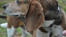 Beagle looking over shoulder in forest