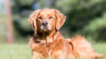 Golden Retriever's like this can sometimes have a air outside the lungs