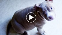 Gray Pit Bull puppy looking up