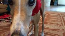 adorable greyhound photo