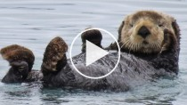 Orphaned Baby Sea Otter Finds New Home