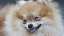 Pomeranian Saves Family From House Fire
