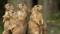 Prairie Dog Deaths Cause Concern about the Plague