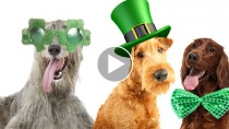 Adorable Irish Breeds to Perk Up Your St. Patrick's Day