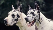 Two Great Danes