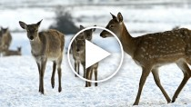 Father and Son Rescue Stranded Deer