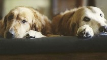 Two dogs sharing a bed