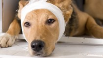 Plastic Surgery for Dogs in South Korea Sparks Outcry, But Is America That Different?