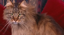 At 26, Corduroy Takes the Title of World's Oldest Cat