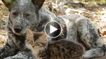 The Unlikely Friendship between a Cattle Dog and a Disabled Kitten