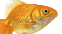 Resilient Goldfish Saved by Amazing Surgery