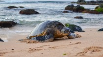 Turtle Crashes Wedding in St. Croix
