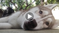 Senior Siberian Husky lying on the ground