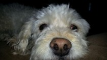 Bichon with wet nose