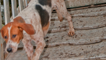 The American English Coonhound