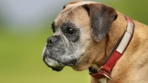 Boxer Cardiomyopathy (AVCP): A Threat to the Boxer Breed