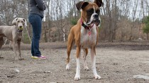 Canine Transmissible Venereal Tumors: These Tumors Can Be Spread