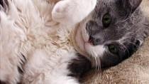 Cuterebra Infestation in Cats