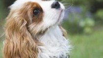 The Cavalier King Charles Spaniel