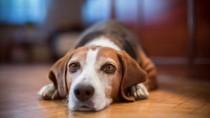 Sad Dog on Wood Floor