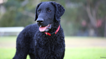 The Curly-Coated Retriever