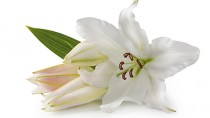 The Dangers of Easter Lilies to Cats