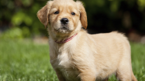 Demodicosis in Dogs