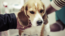 Disseminated Intravascular Coagulation (DIC) in Pets: A Blood Clotting Disorder