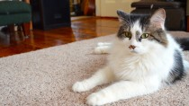 Do Cats Get Hypothyroidism?