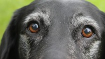 Cognitive Disfunction in Dogs