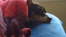 Hemangiosarcoma in Dogs