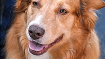 Aspergillosis in Dogs
