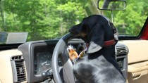 Dachshund on steering wheel