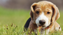 Ear Problems Leading to Otitis in Dogs