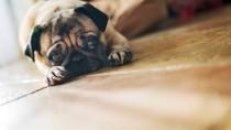 A bulldog like Rosie with ectopic ureters