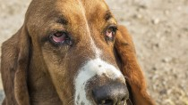 Ectropion in Dogs: What's Wrong With My Dog's Eyes?