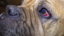Entropion in Dogs: What's Wrong With My Dog's Eyes?