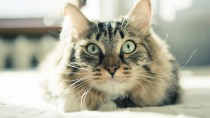 Eye Inflammation in Cats