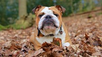 fall dog in leaves