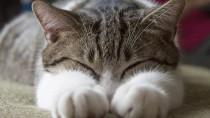 Feline Heart Disease